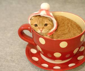 the tea cup cat Funny Video
