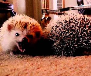 the truth about hedgehogs Funny Video