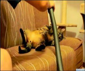 Cat Loves Being Vacuumed Funny Video