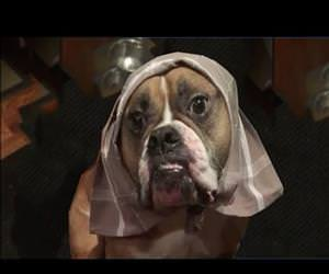 wilson the bulldog plays dressup Funny Video