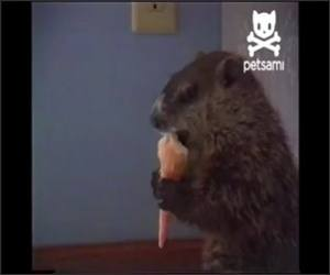 Woodchuck eating Ice cream Video