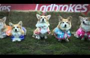 worlds first corgi race Funny Video