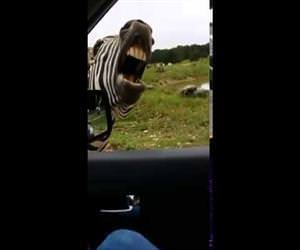 zebra will sing for snacks Funny Video