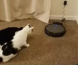 cats meeting the roomba