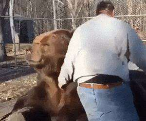 giving the bear a massage
