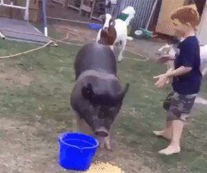 riding the pig