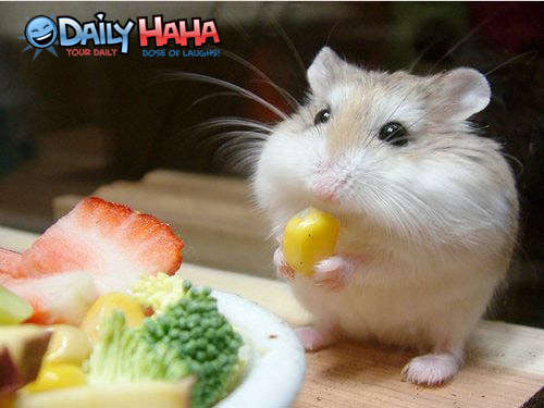 Gerbil eating