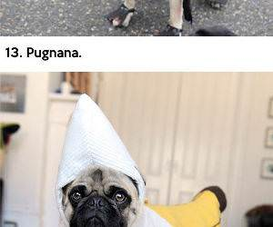 Pugs in Costumes funny picture