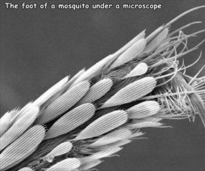 the foot of a mosquito
