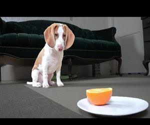 Cute Puppy vs Orange Funny Video