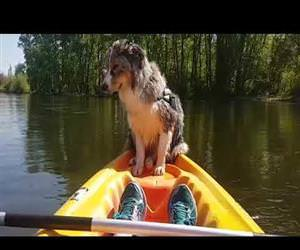 Dog Falls Asleep While Standing on Kayak Funny Video