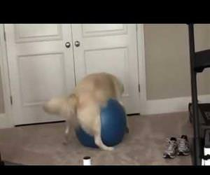 Doggo Gets Stuck On Exercise Ball Funny Video