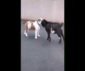 Goat vs dog Funny Video