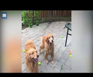 Hilarious golden retrievers fail at catching balls Funny Video
