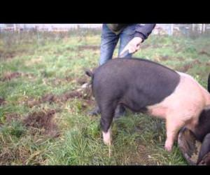How to straighten a pigs tail Funny Video