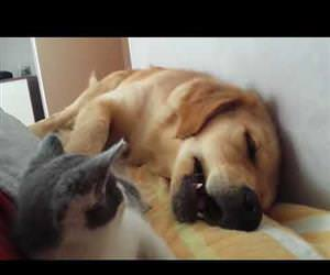 Kitten Playfully Bites Sleeping Dog Funny Video