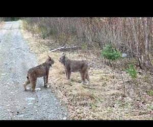 Two Lynx in Ontario Have Intense Conversation Funny Video