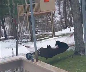 bears playing on the hammoc Funny Video