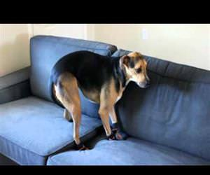 bill the dog wearing boots Funny Video