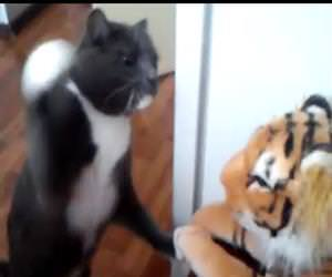 cat hates the tiger stuffed animal Funny Video