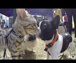 cat meets 50 dogs at dog show Funny Video