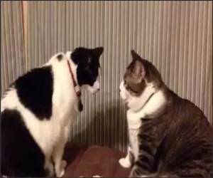 Cat Staring Stand Off Funny Video