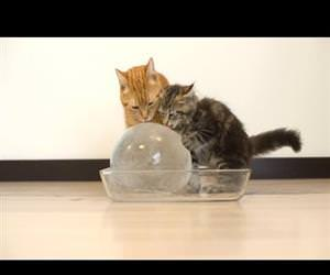 cats enjoying an ice ball Funny Video