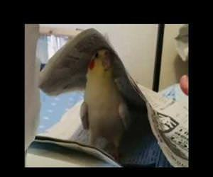 cockatiel playing peekaboo Funny Video