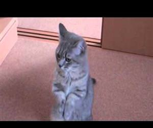 cute cat begging for food Funny Video