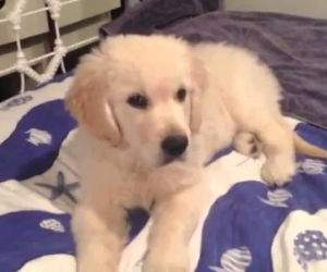 cutest golden retriever puppies Funny Video