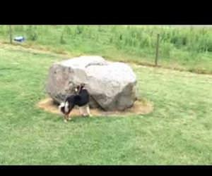 dog and duck chasing each other around a rock Funny Video