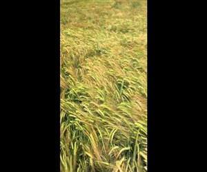 dog finds owner in tall grass Funny Video