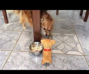 dog growling at toy puppy Funny Video