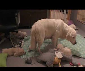 dog mother teaches her 8 weeks old puppies to be calm Funny Video