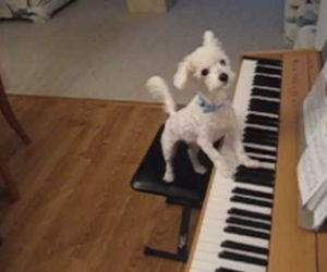 dog singing and playing piano Funny Video