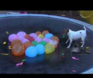 dog vs water balloons on trampoline Funny Video