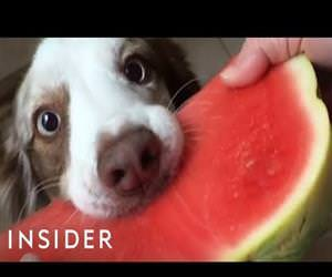 dogs eating watermelon Funny Video