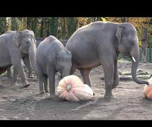 elephants vs pumpkins Funny Video
