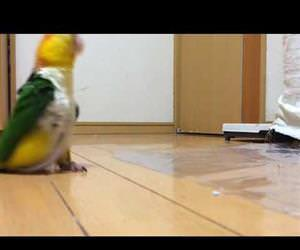 funny parrot stomping around Funny Video
