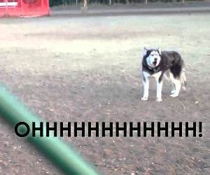 Husky doesnt want to leave the park Funny Video