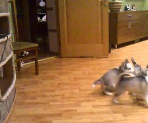 husky playing with puppies Funny Video