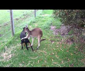 kangaroo and dog are best friends Funny Video
