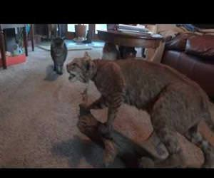 scared of a stuff bobcat Funny Video