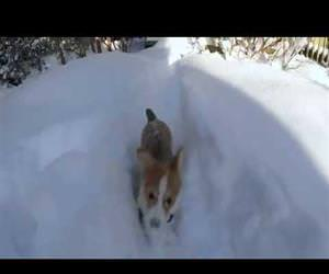 the awesome Corgi Snowplow Funny Video