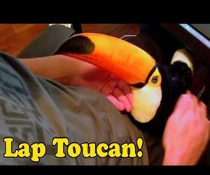 this toucan is like a lap dog Funny Video